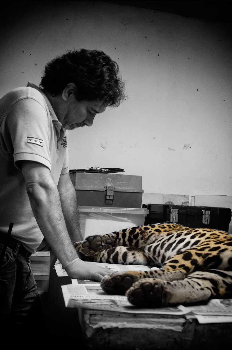 jaguar y veterinario